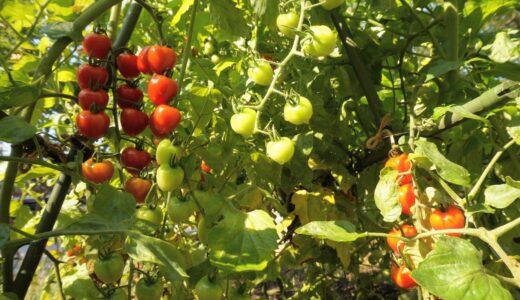 意外と知らないミニトマトの健康効果と苗の植え方